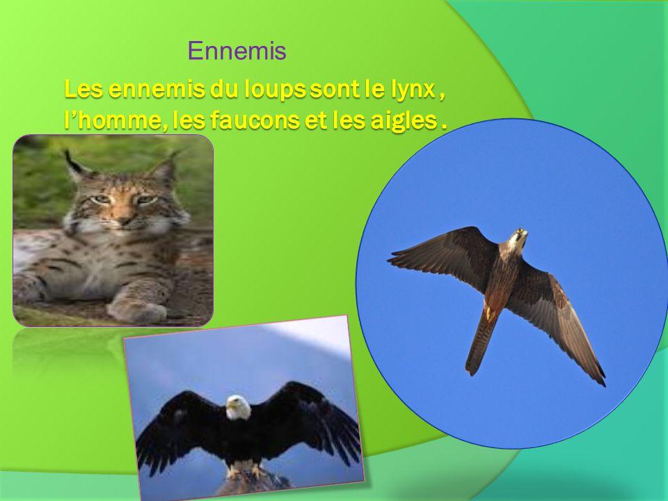 Ennemis Les ennemis du loups sont le lynx , l'homme, les faucons et les aigles .