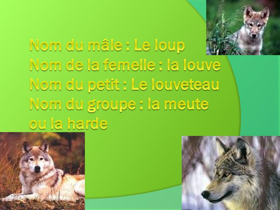 Nom du mâle : Le loup Nom de la femelle : la louve Nom du petit : Le louveteau Nom du groupe : la meute ou la harde