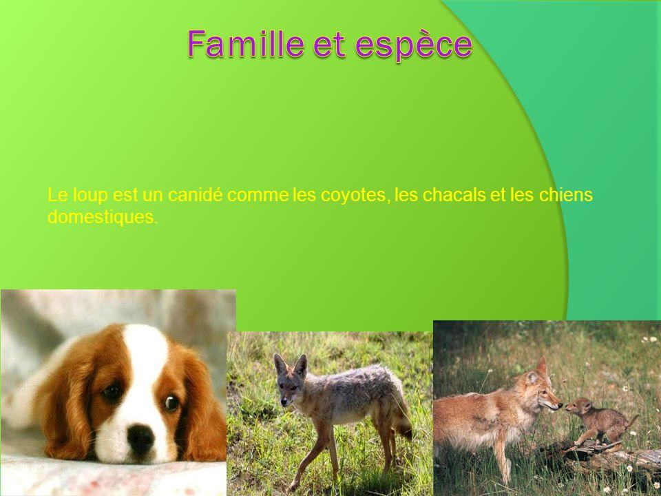 Famille et espèce Le loup est un canidé comme les coyotes, les chacals et les chiens domestiques.