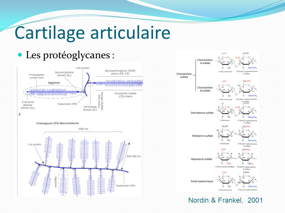 Cartilage articulaire