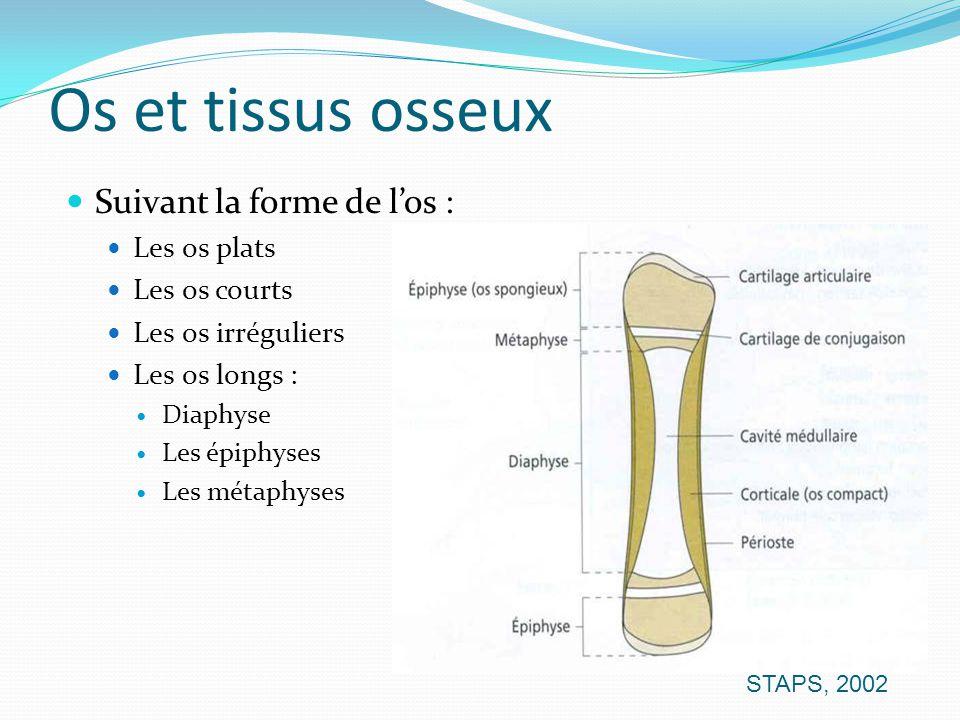 Os et tissus osseux Suivant la forme de l'os : Les os plats
