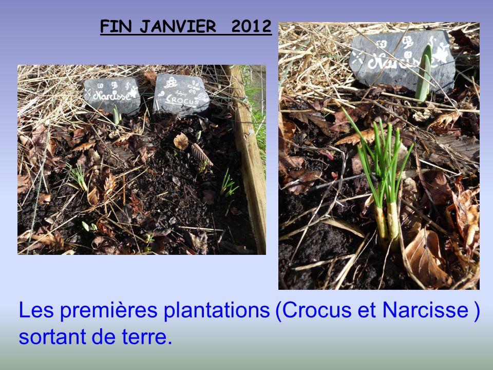 Les premières plantations (Crocus et Narcisse ) sortant de terre.