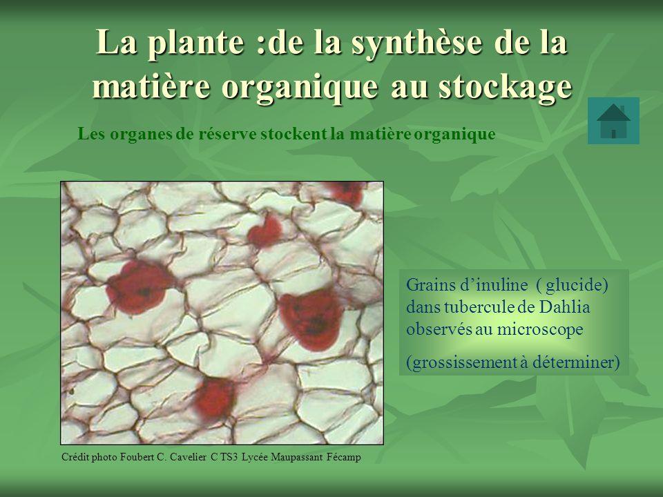 La plante :de la synthèse de la matière organique au stockage