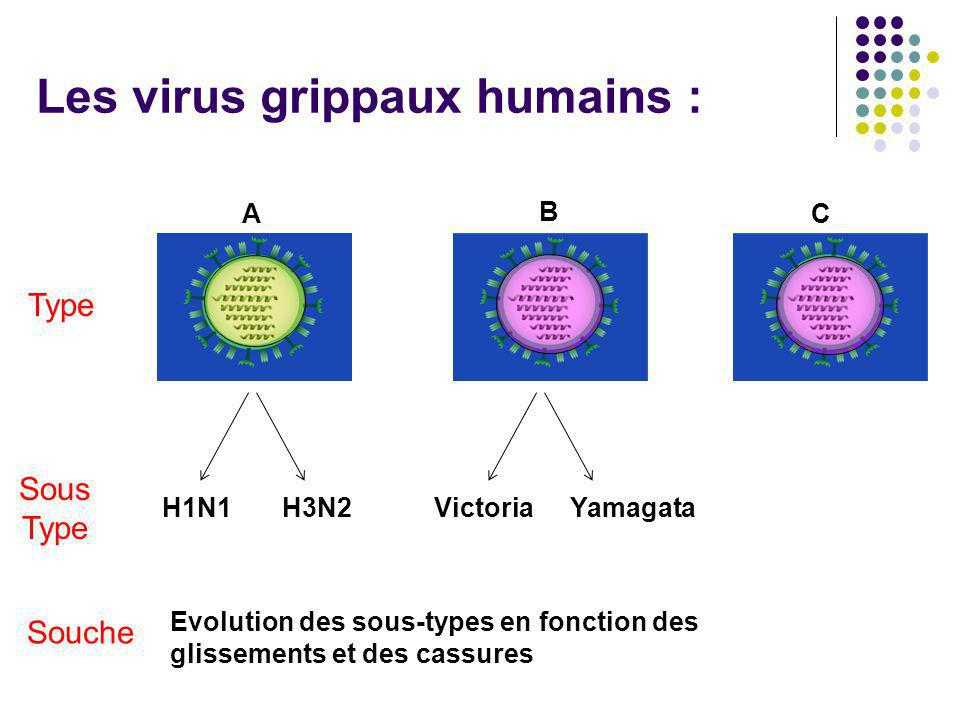 Les virus grippaux humains :
