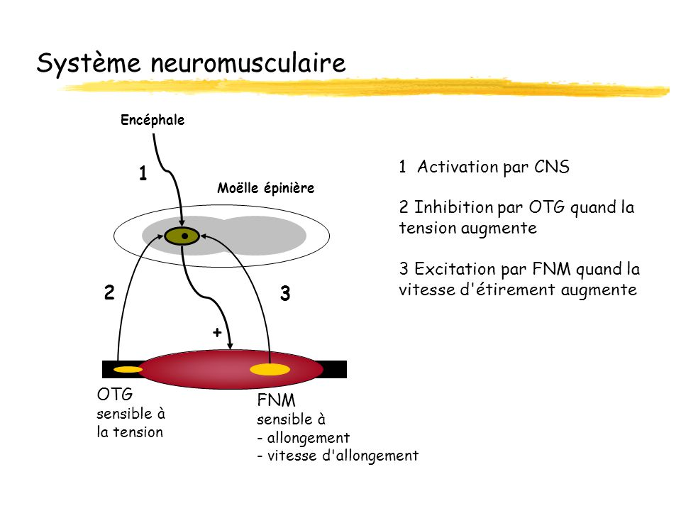 Système neuromusculaire