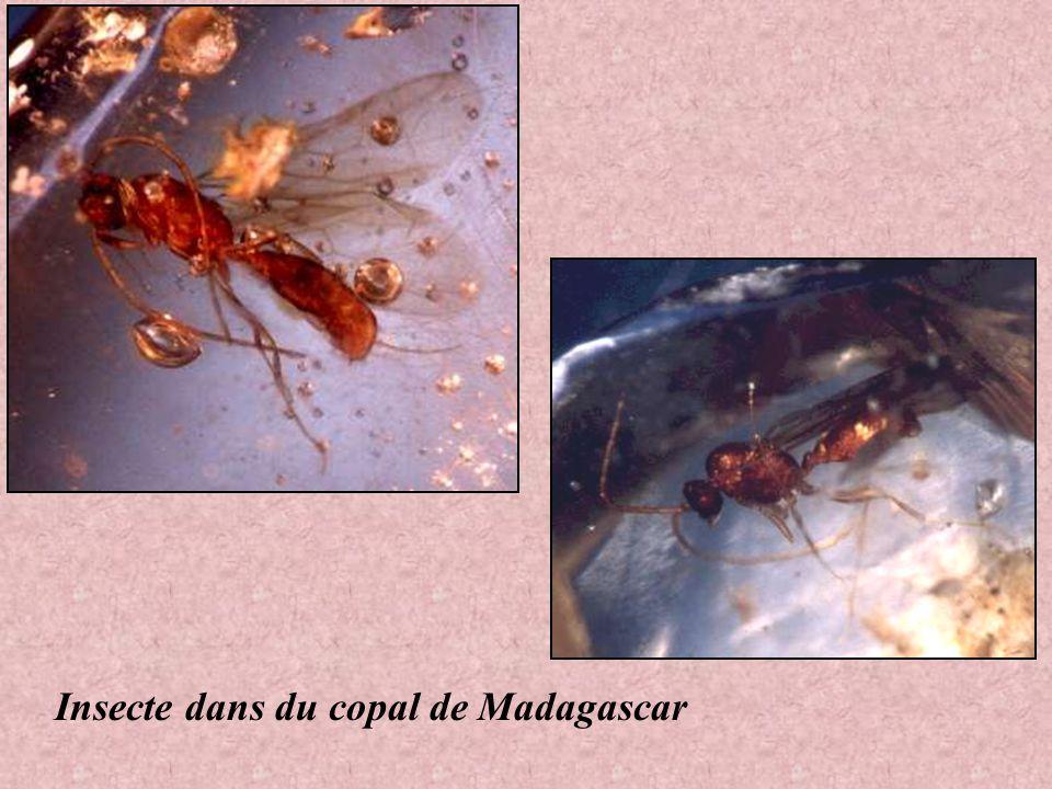 Insecte dans du copal de Madagascar