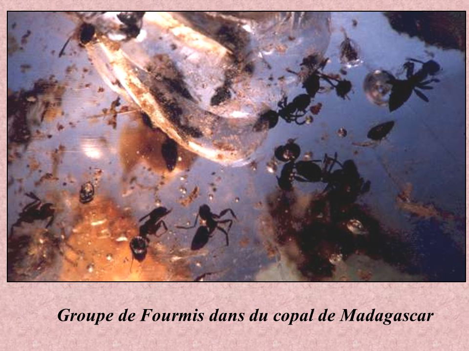 Groupe de Fourmis dans du copal de Madagascar