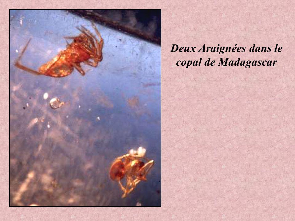 Deux Araignées dans le copal de Madagascar