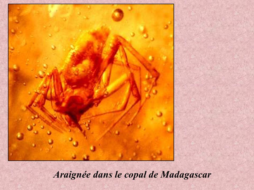 Araignée dans le copal de Madagascar