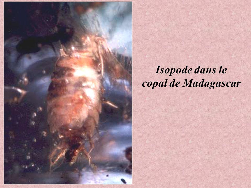 Isopode dans le copal de Madagascar