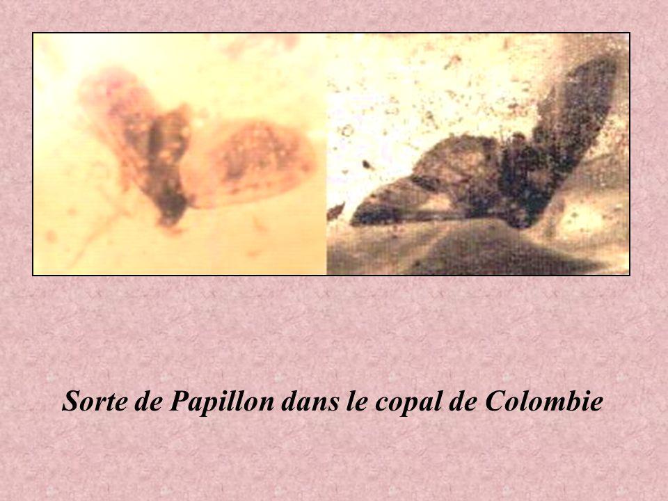 Sorte de Papillon dans le copal de Colombie