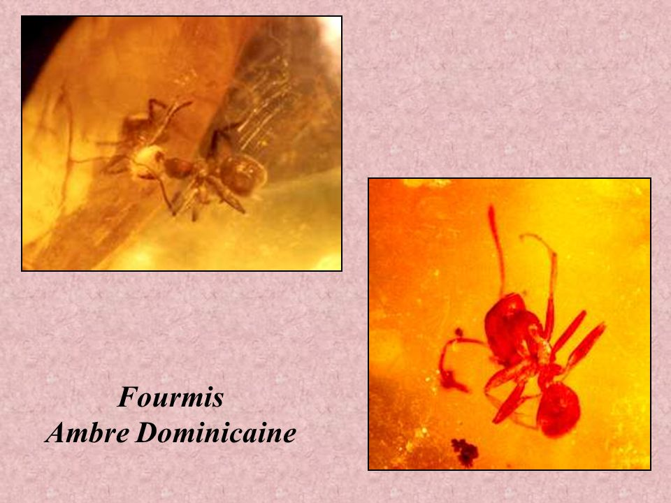Fourmis Ambre Dominicaine