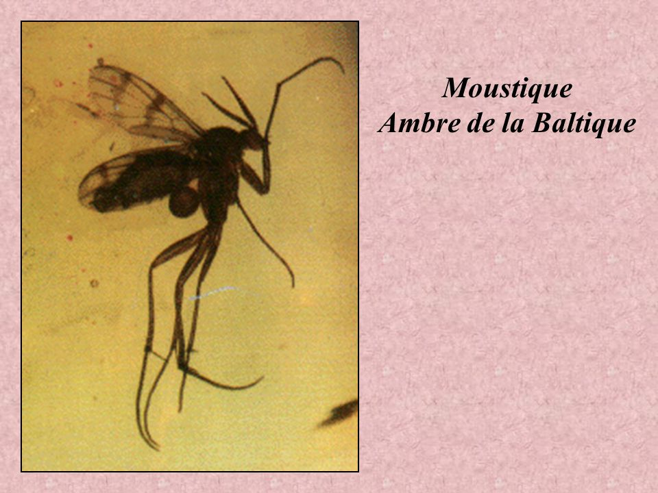 Moustique Ambre de la Baltique