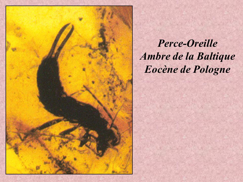 Perce-Oreille Ambre de la Baltique Eocène de Pologne