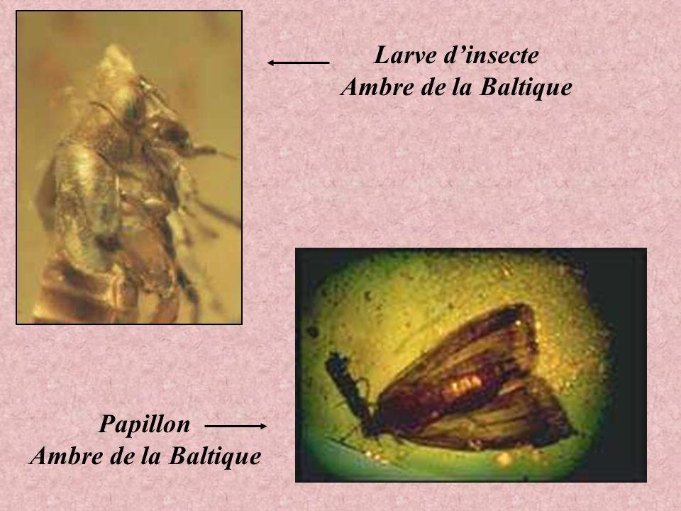 Larve d'insecte Ambre de la Baltique Papillon Ambre de la Baltique