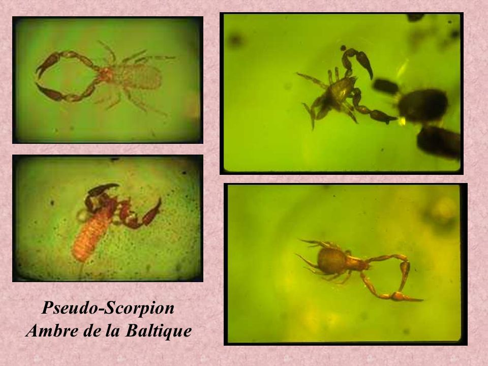 Pseudo-Scorpion Ambre de la Baltique