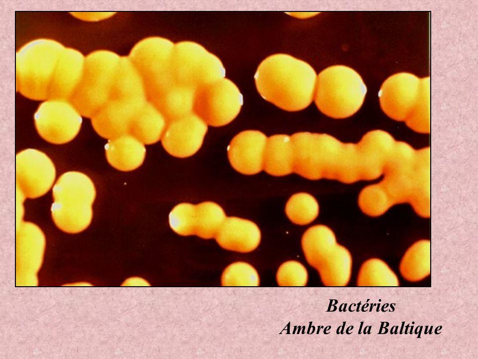 Bactéries Ambre de la Baltique