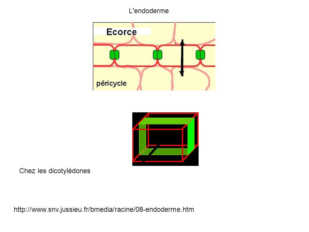 L endoderme Chez les dicotylédones http://www.snv.jussieu.fr/bmedia/racine/08-endoderme.htm