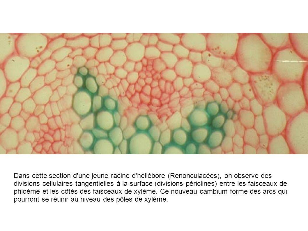 Dans cette section d une jeune racine d héllébore (Renonculacées), on observe des divisions cellulaires tangentielles à la surface (divisions périclines) entre les faisceaux de phloème et les côtés des faisceaux de xylème.