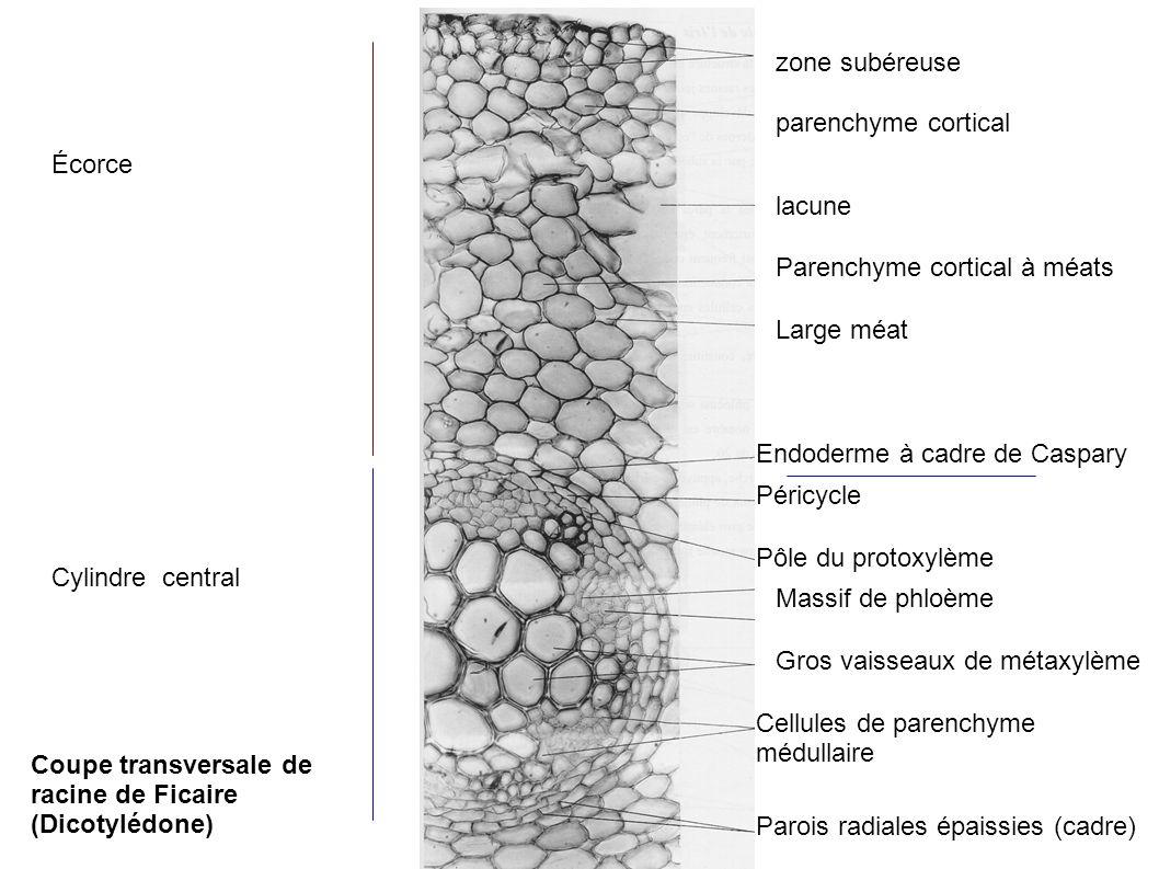 zone subéreuse parenchyme cortical. Écorce. lacune. Parenchyme cortical à méats. Large méat. Endoderme à cadre de Caspary.