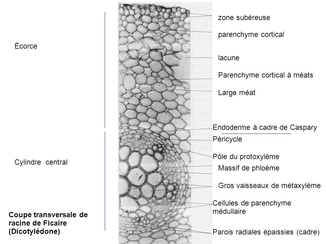 zone subéreuseparenchyme cortical. Écorce. lacune. Parenchyme cortical à méats. Large méat. Endoderme à cadre de Caspary.