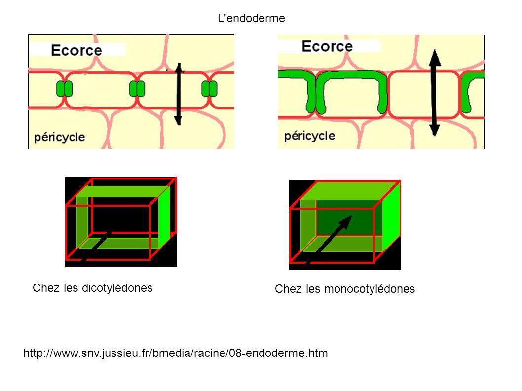 L endodermeChez les dicotylédones.Chez les monocotylédones.