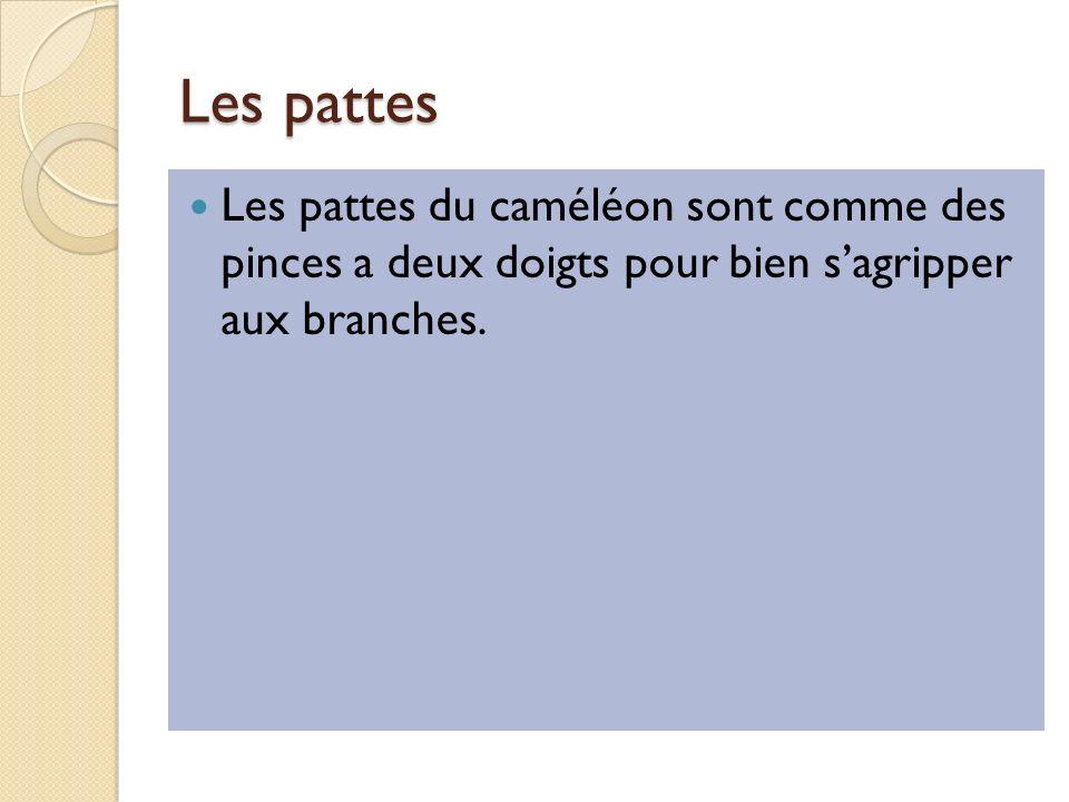 Les pattes Les pattes du caméléon sont comme des pinces a deux doigts pour bien s'agripper aux branches.