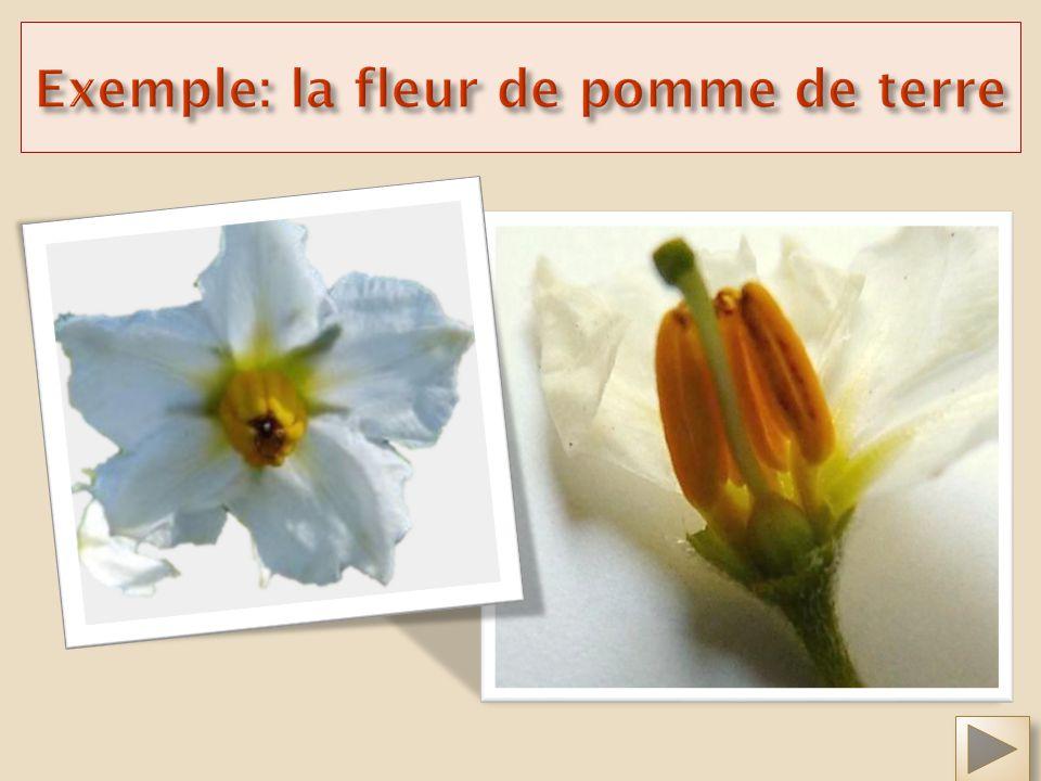 Exemple: la fleur de pomme de terre