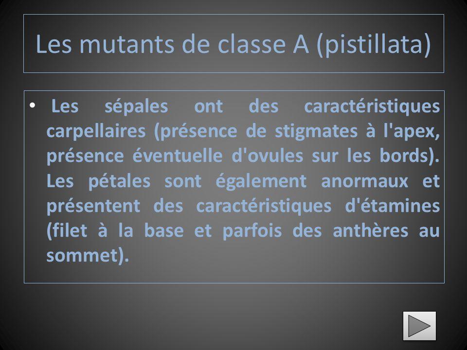 Les mutants de classe A (pistillata)