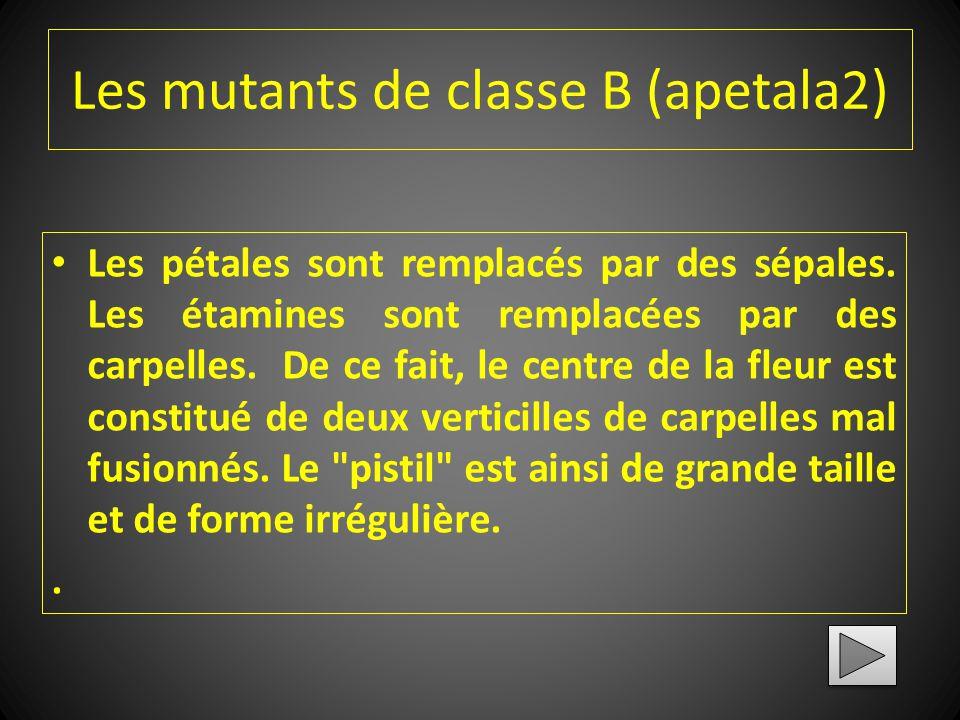 Les mutants de classe B (apetala2)