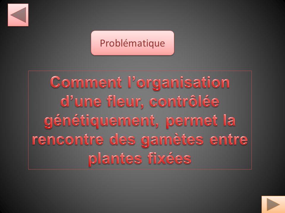 Problématique Comment l'organisation d'une fleur, contrôlée génétiquement, permet la rencontre des gamètes entre plantes fixées.