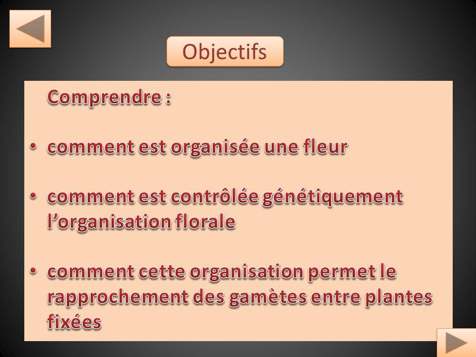 Objectifs Comprendre : comment est organisée une fleur
