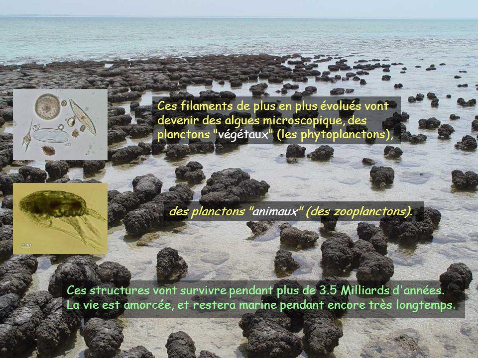 Ces filaments de plus en plus évolués vont devenir des algues microscopique, des planctons végétaux (les phytoplanctons),