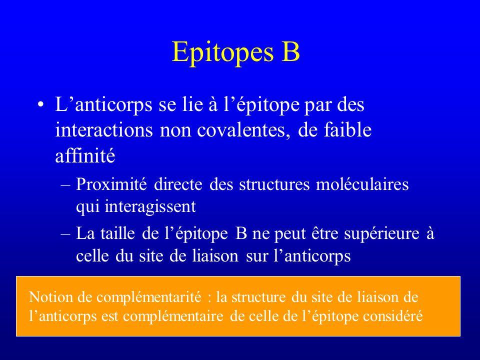 Epitopes B L'anticorps se lie à l'épitope par des interactions non covalentes, de faible affinité.