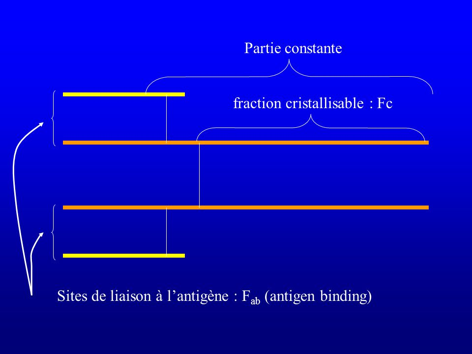 Sites de liaison à l'antigène : Fab (antigen binding)