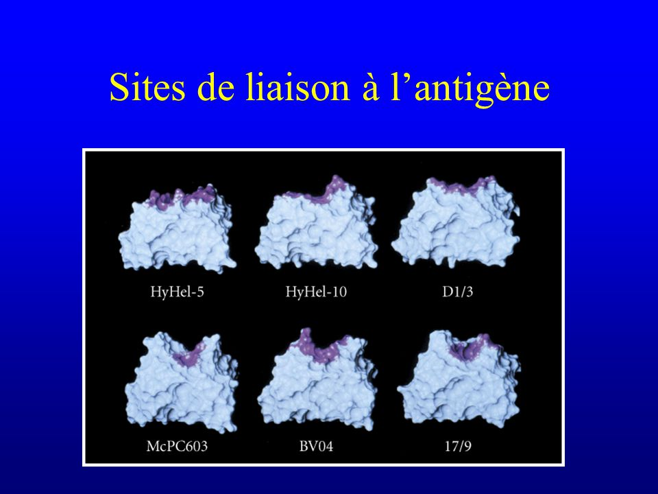 Sites de liaison à l'antigène