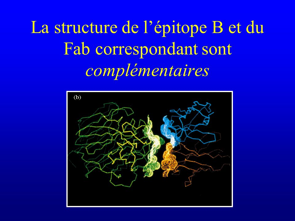 La structure de l'épitope B et du Fab correspondant sont complémentaires