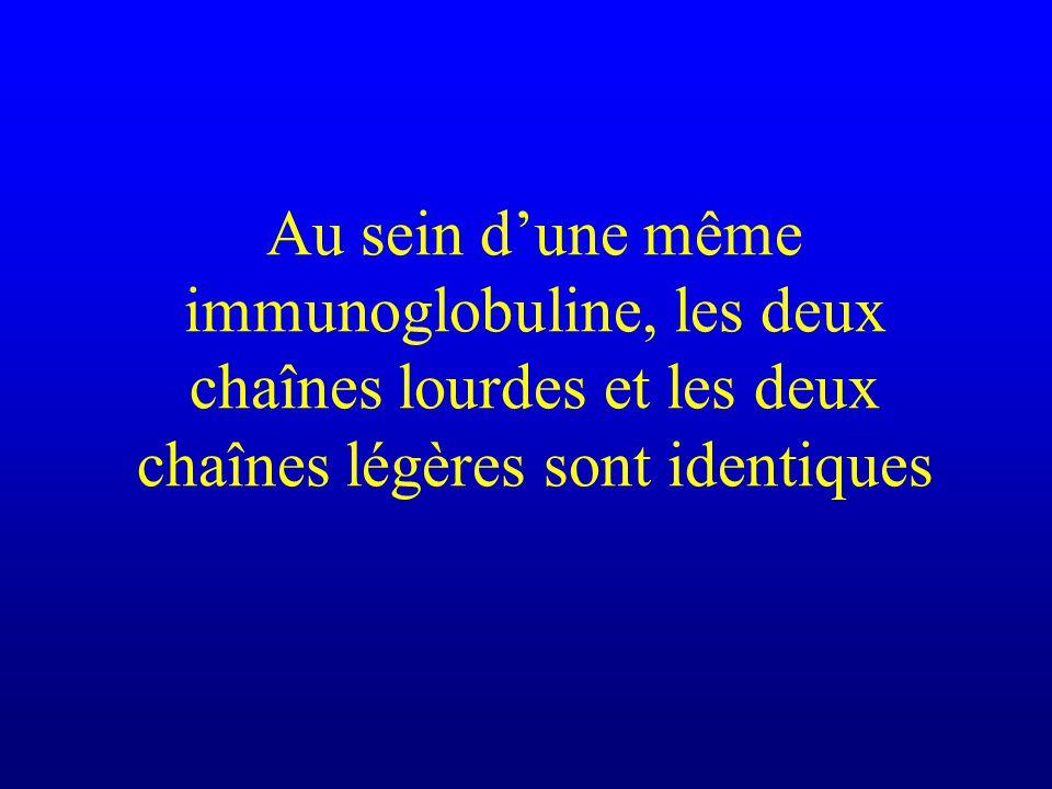 Au sein d'une même immunoglobuline, les deux chaînes lourdes et les deux chaînes légères sont identiques