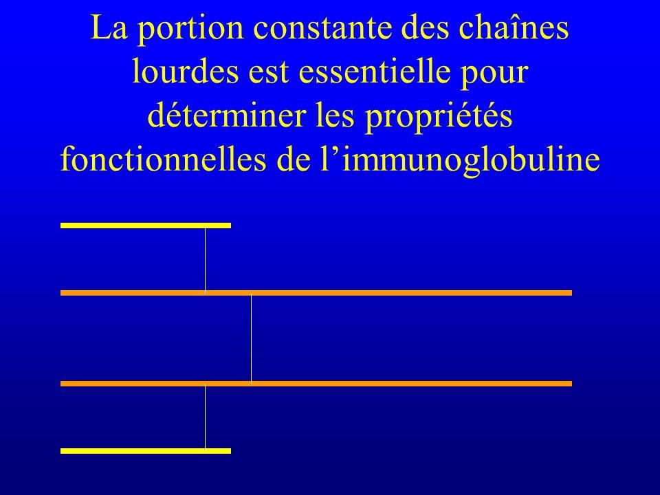 La portion constante des chaînes lourdes est essentielle pour déterminer les propriétés fonctionnelles de l'immunoglobuline