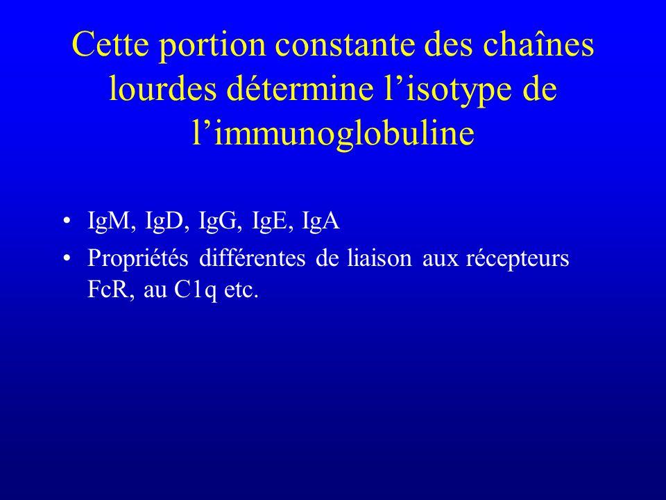 Cette portion constante des chaînes lourdes détermine l'isotype de l'immunoglobuline