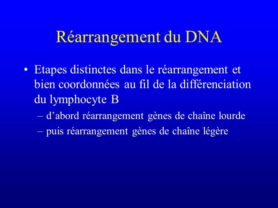 Réarrangement du DNA Etapes distinctes dans le réarrangement et bien coordonnées au fil de la différenciation du lymphocyte B.