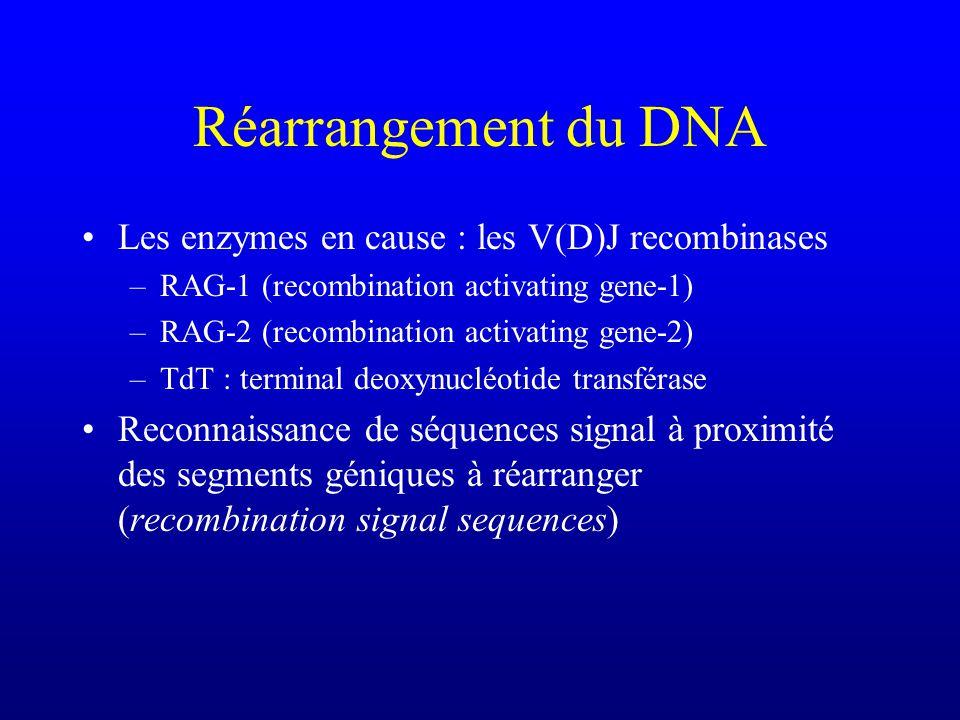 Réarrangement du DNA Les enzymes en cause : les V(D)J recombinases