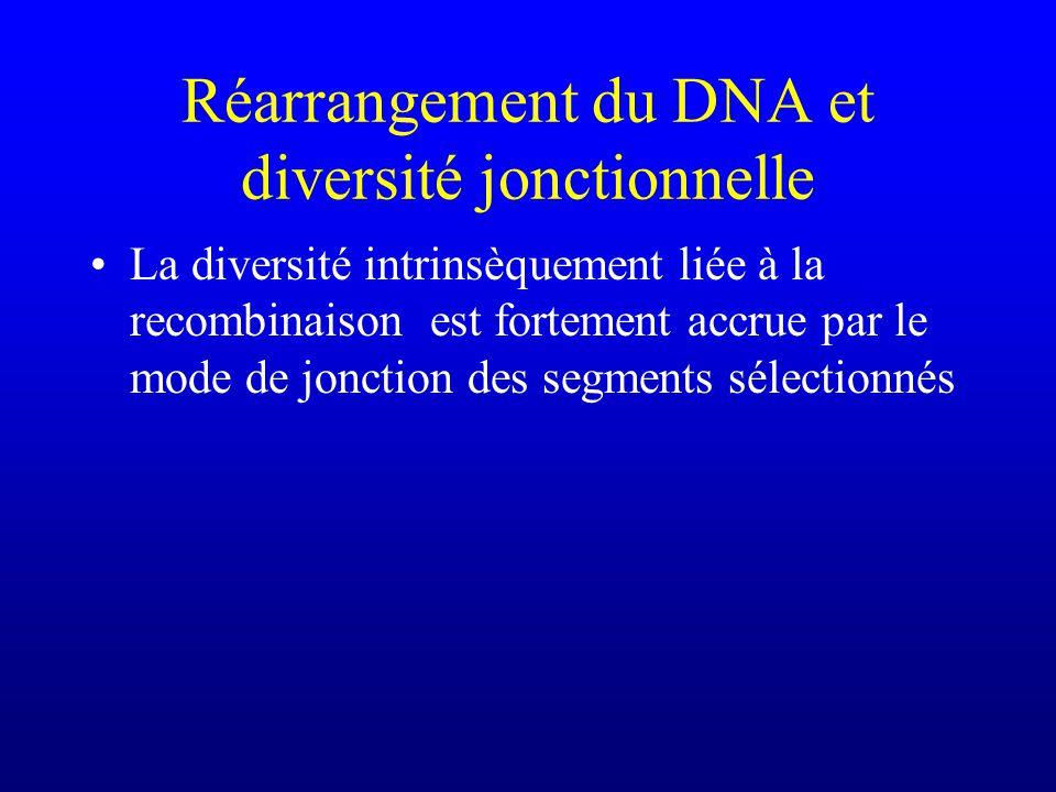 Réarrangement du DNA et diversité jonctionnelle