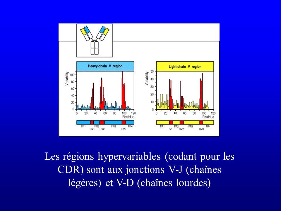 Les régions hypervariables (codant pour les CDR) sont aux jonctions V-J (chaînes légères) et V-D (chaînes lourdes)