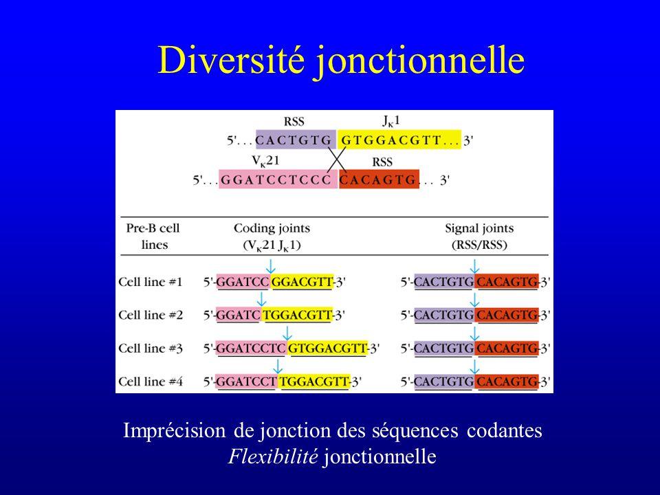 Diversité jonctionnelle