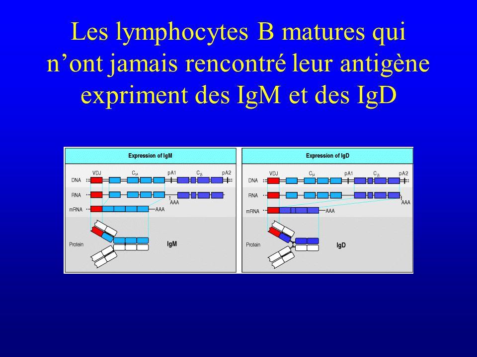 Les lymphocytes B matures qui n'ont jamais rencontré leur antigène expriment des IgM et des IgD