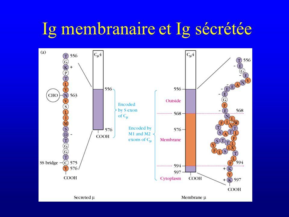 Ig membranaire et Ig sécrétée