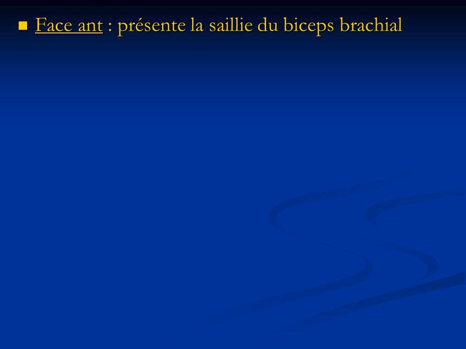 Face ant : présente la saillie du biceps brachial