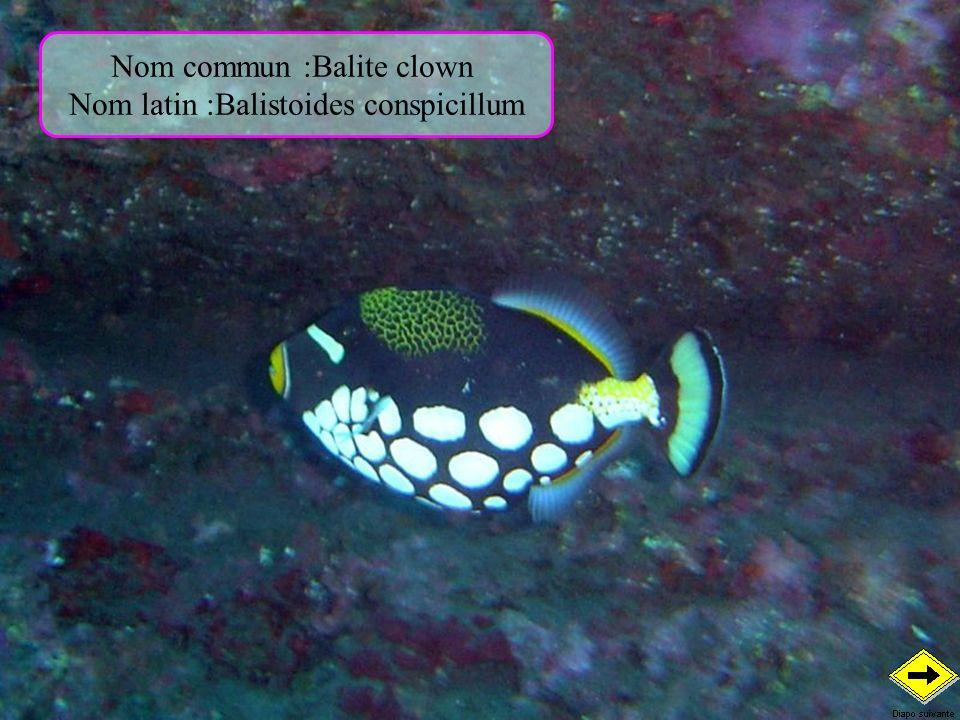 Nom commun :Balite clown Nom latin :Balistoides conspicillum