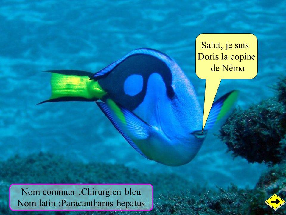 Nom commun :Chirurgien bleu Nom latin :Paracantharus hepatus